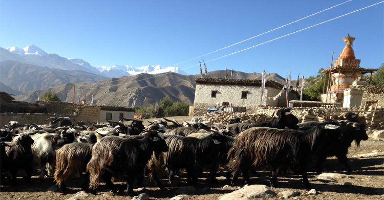 goats-in-mustang-trek-mvw3xxk4nx554w15x8uj6f0hndhga73xyeuzqqsqf0